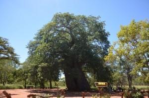 Baobab Gravelotte
