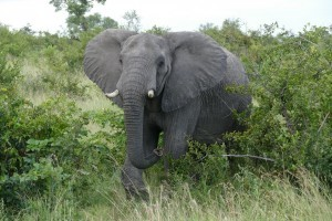 Elephant sighting Kruger