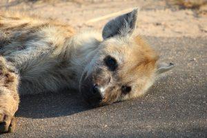 Hyena In Kruger