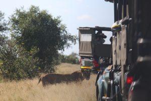 Lioness in Kruger